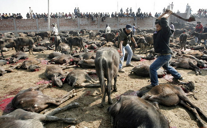 Why always Muslims are been scandalised for Animal Killing on Eid-ul-Zuha, But not Hindus on 'Durga-Puja' ?